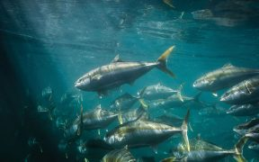 Clean Seas Expands Kingfish Supply