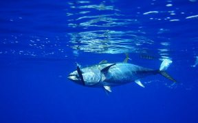 ICCAT agrees tuna management plan