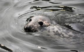 BABY SEALS AT RISK FROM CHEMICALS