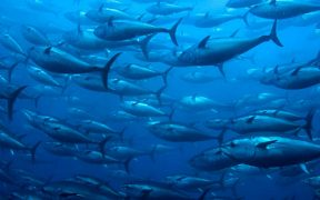 ALBACORE FISHERIES SUSTAINABILITY PROJECT