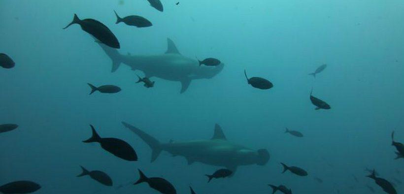 ENDANGERED SHARKS BEING EATEN IN THE UK