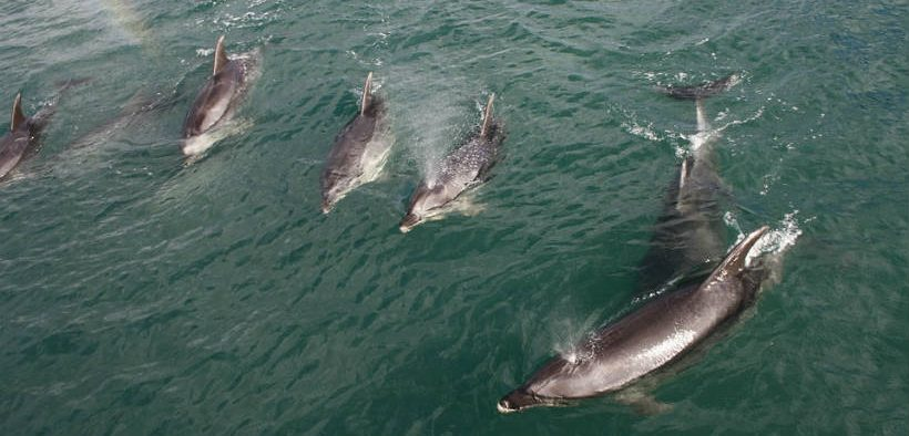 Rare dolphins accidently caught off New Zealand