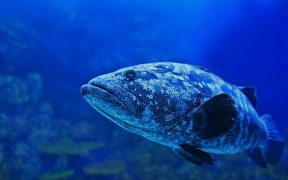 DEADLINE LOOMS FOR NZ BLUE COD CONSULTATION