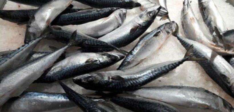 IRISH PELAGIC FISHERS WELCOME MACKEREL REPORT