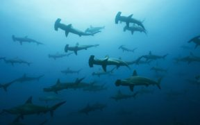 Massive underreporting of shark catches