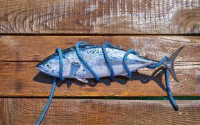 majority-of-tuna-catch-from-healthy-stocks