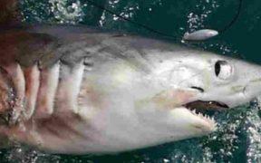 HUGE SHARK WEIGHING 21 STONE