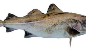 MIXED MONTH FOR NORWEGIAN COD