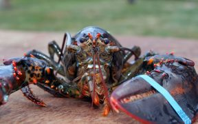 funding-boost-for-lobster-research