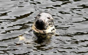 GREY SEAL FISH CONSUMPTION