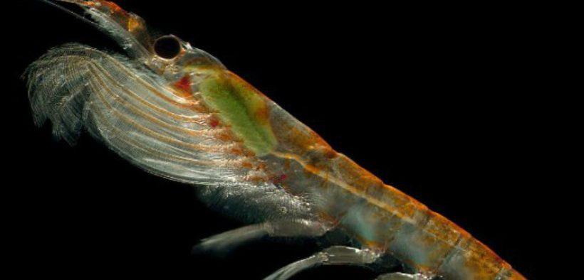 Krill Most Effective Growth Enhancer in Shrimp Farming