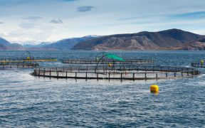 Scottish Salmon Production Falls