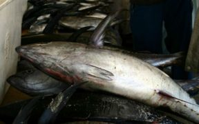 NEW RESEARCH SHOWS TUNA