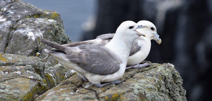 MILLIONS OF N. SEA SEABIRDS