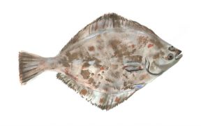 krill-supplementation-in-olive-flounder-diets