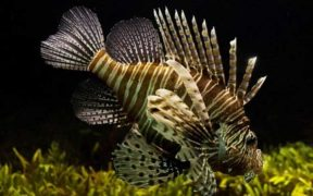 LIONFISH COULD DISRUPT MEDITERRANEAN