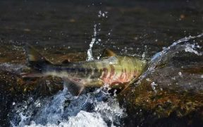 DECLINE IN MIGRATORY FRESHWATER FISH