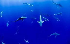 ILLEGAL FISHING OF SHARKS