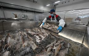 Russian Pollock plant started production