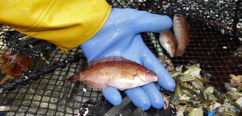 WRASSE FISHERY OBSERVER SURVEYS