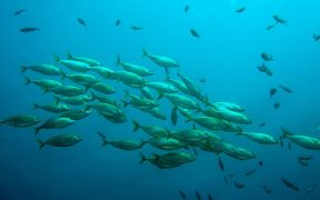Robots help to answer age-old question of why fish school