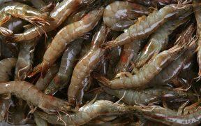 Thai Union to use algae ingredient in its shrimp feed