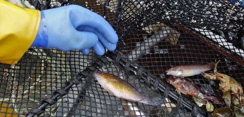 CONTROLS FOR SCOTTISH WRASSE FISHERIES