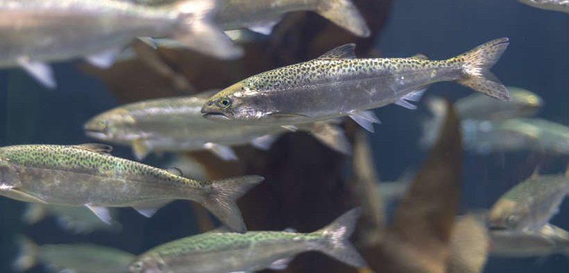 breeding-climate-robust-salmon