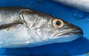 cornish-hake-achieves-msc-recertification