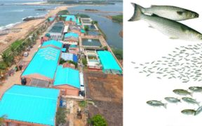grey-mullet-hatchery-breakthrough