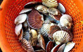 Bivalve Molluscs and Scallop Impact Survey