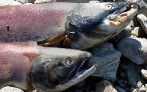 CONCERN OVER FEMALE SOCKEYE SALMON MORTALITY