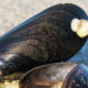 Researchers help mussel farmers tackle tube worm pest