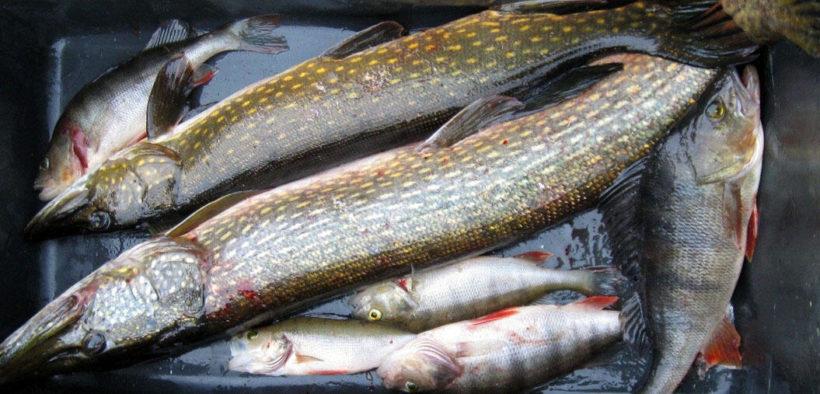 INCREASED MERCURY CONTENT IN FISH
