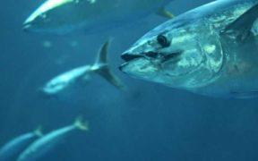 INDIAN OCEAN TUNA COMMISSION FAILS