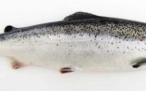 NORWEGIAN FISH FEED SECTOR