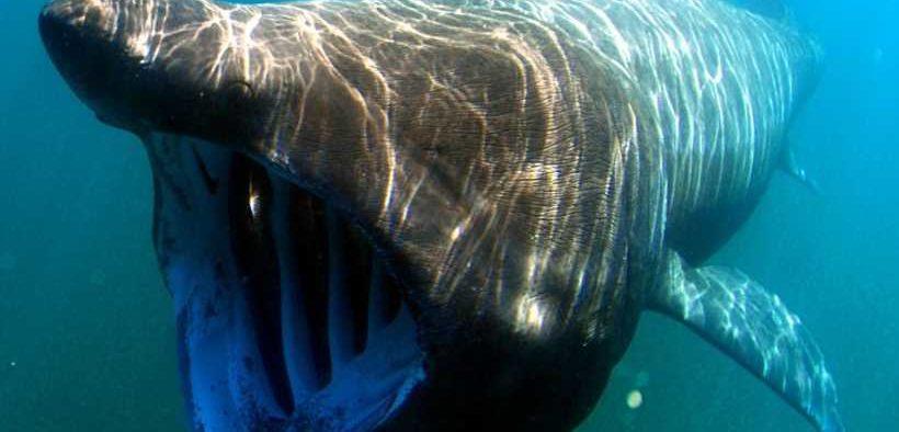 CELEBRATING IRISH SHARKS