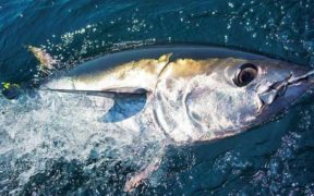 ENGLISH SKIPPERS COMPLETE BLUEFIN