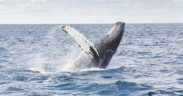NEW HUMPBACK WHALE 'ORION'