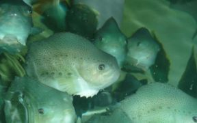 NEW TOOL TO IMPROVE 'CLEANER FISH'