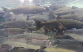 A Sustainable Future for Scottish Salmon