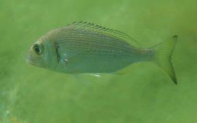 LOW OXYGEN LEVELS PUSHING FISH