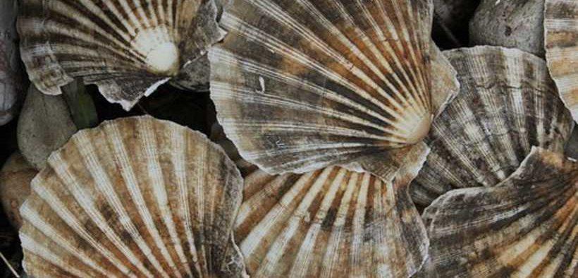 NZ EAST COROMANDEL SCALLOP FISHERY CLOSED